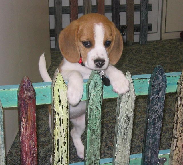 Ditto the beagle